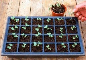Краснокочанная капуста: описание, сорта, выращивание, уход и отзывы