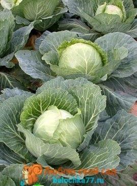 Лучшие сорта капусты для засолки и квашения с описанием и фото