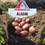 Самые лучшие сорта картофеля для посадки: список, описание сортов