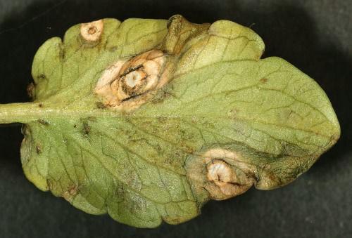 Вредители и болезни жимолости: описание и методы борьбы с ними