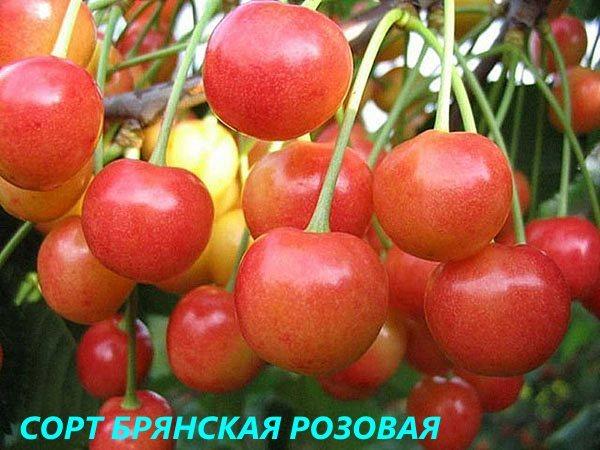 Лучшие сорта черешни для Подмосковья с описание и фото