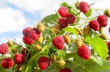 Малина Киржач: описание сорта, правила выращивания, отзывы