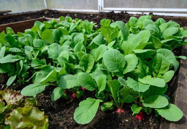 Выращивание редиса в теплице: сорта, посадка, уход, сбор урожая