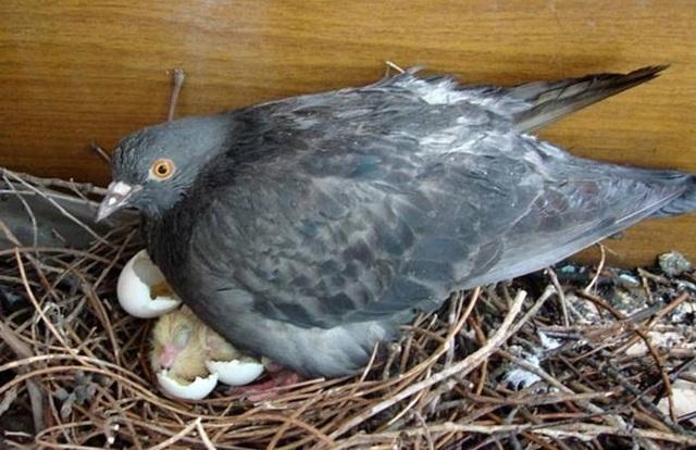 Как размножаются голуби: половозрелость, подбор пары, спаривание, кладка и высиживание яиц