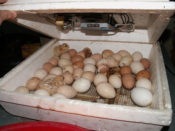 Инкубация страусиных яиц в домашних условиях: закладка, режимы, выбор яиц и инкубатора