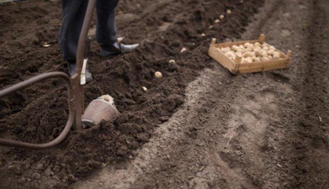 Картофель Ирбитский: описание сорта, посадка, уход, сбор урожая