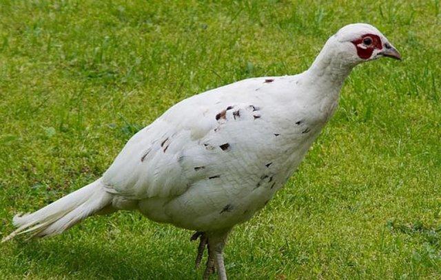 Белый ушастый фазан: фото, описание, виды, разведение