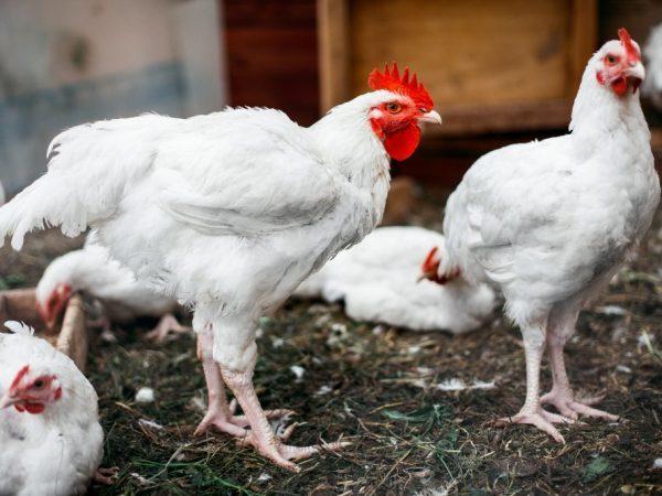 Понос у цыплят бройлеров: причины и способы лечения