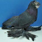 Узбекские голуби: виды, описание, уход, правила содержания и интересные факты
