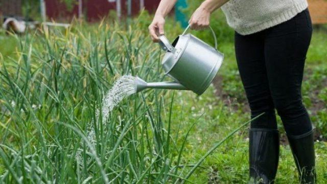Полив лука: нормы, правила и способы