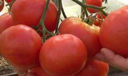 Томат Цунами: характеристика сорта, фото, выращивание, плюсы и минусы, отзывы