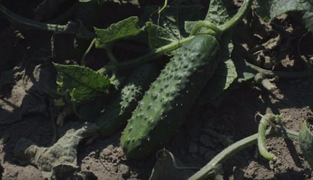 Голландские сорта/гибриды огурцов: описание с фото, характеристики и агротехника
