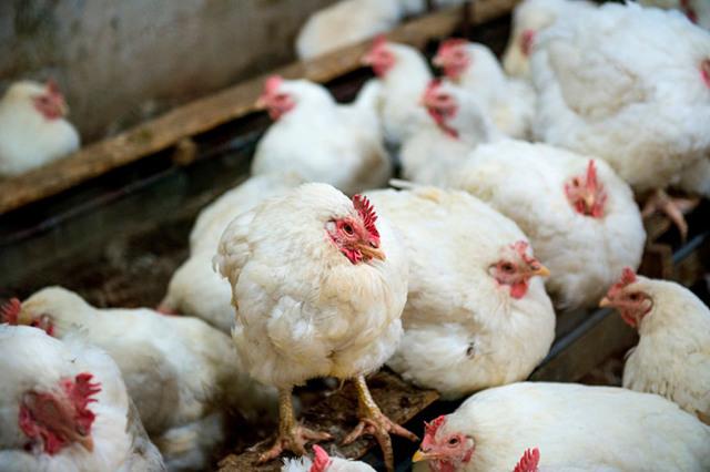 Болезни кур: виды, симптомы, причины и лечение