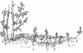 Малина Кумберленд: описание сорта с фото, посадка и уход, отзывы