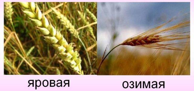 Яровая пшеница: характеристика, сорта и виды, выращивание