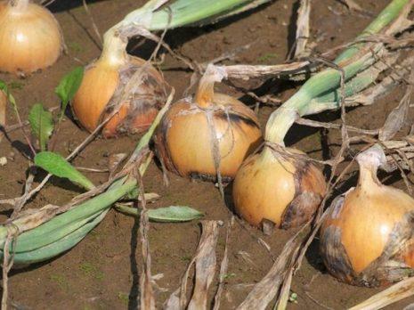 Лук Коррадо: описание сорта, фото, посадка, уход, сбор урожая, отзывы
