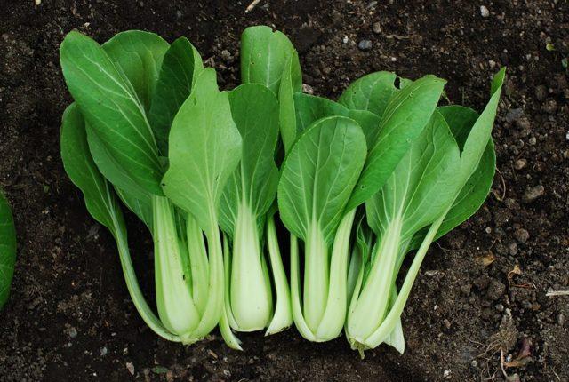 Пак-чой (китайская капуста): описание, фото, посадка, выращивание и сбор урожая