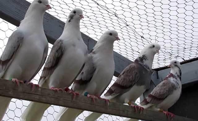 Николаевске высоколетные голуби: описание, фото, летные качества, разведение