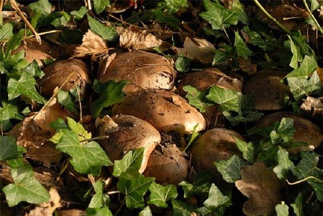 Подтопольник или рядовка тополевая (тополиная): описание, виды, где растет, польза и вред, выращивание