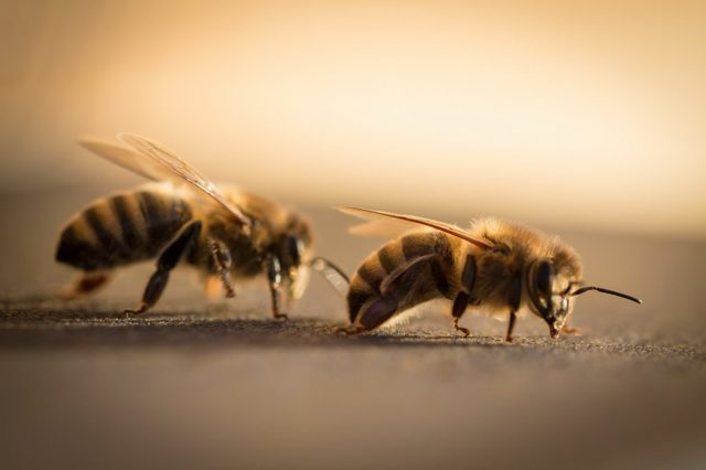 Степная украинская порода пчел: описание породы, фото, достоинства и недостатки, отзывы