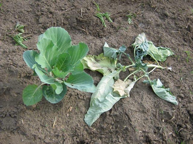 Подкормка капусты: сроки, виды удобрений и количество прикормки в зависимости от вида капусты
