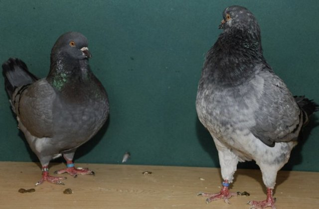 Мясные породы голубей: описание, содержание, разведение, забой
