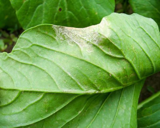 Нужно ли обрывать нижние листья у капусты: преимущества и недостатки процедуры, отзывы