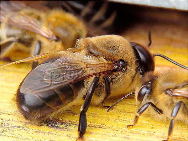 Сколько лет живет пчела: медоносная рабочая, матка, трутень?