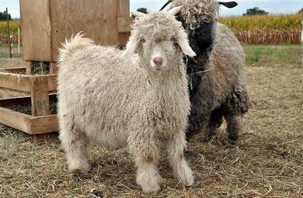 Ангорская коза: описание породы, фото, достоинства и недостатки разведения, отзывы