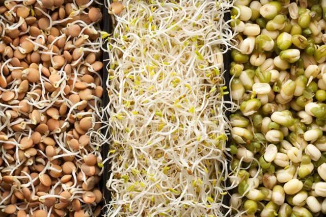 Кормление цесарок в домашних условиях: правила, виды корма, режим питания