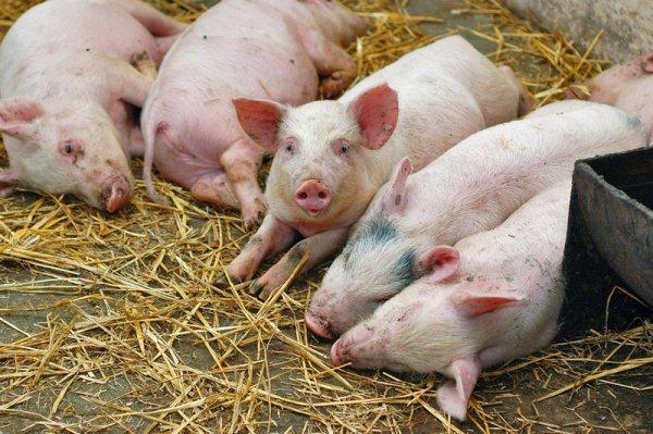 Африканская чума свиней: возбудитель, симптомы, опасность для человека