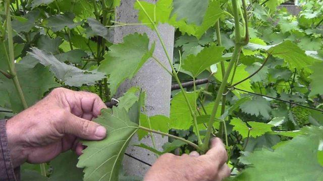Обрезка винограда весной: когда, как и чем обрезать побеги