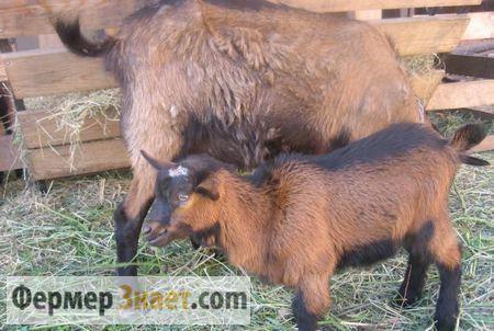 Чешские козы: описание и характеристики породы, содержание и уход, отзывы