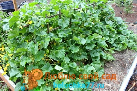 Огурцы Кураж: описание сорта, фото, агротехника, посадка, уход, сбор и хранение