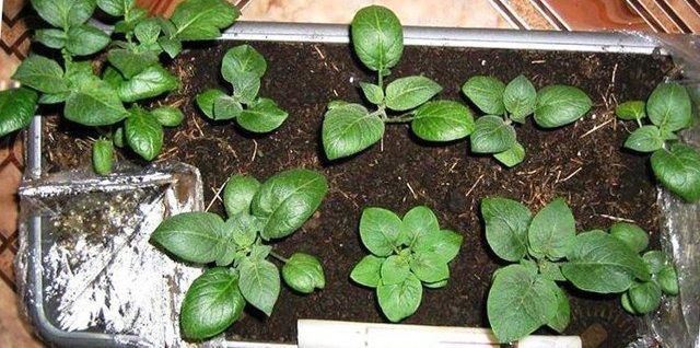 Картофель Голубизна: описание сорта, посадка, сбор и хранение урожая, способы омоложения