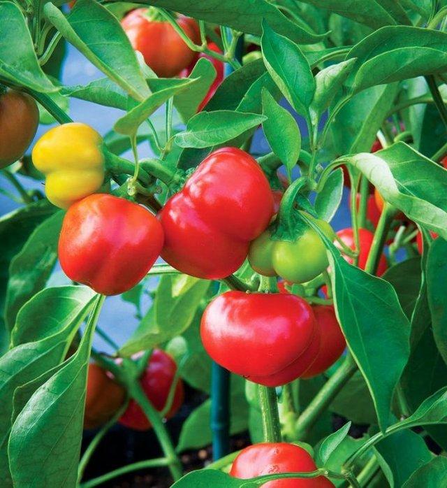 Перец Гогошары: характеристика сорта с фото, разновидности, выращивание и уход