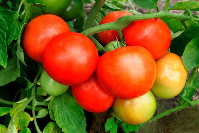 Томат Жонглёр: описание сорта, фото, агротехника, способы посадки, выращивание