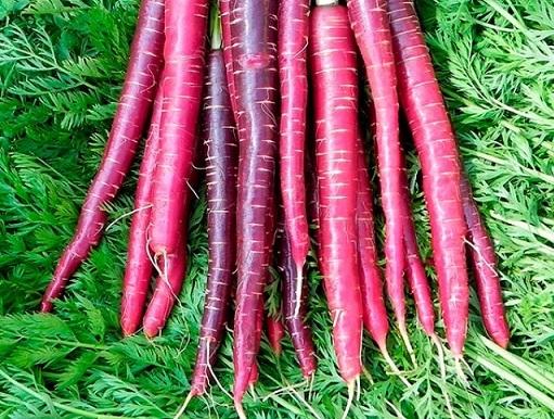 Сорта моркови: названия, описания, фото, особенности выращивания
