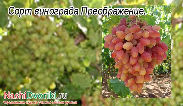 Столовые сорта винограда: описание, фото, их достоинства и недостатки