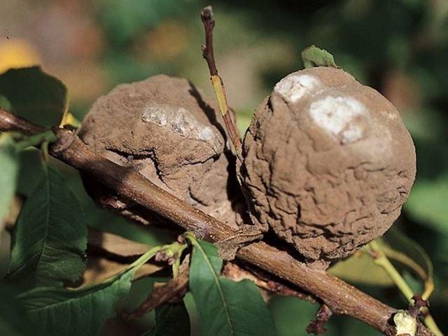 Болезни и вредители персика: описание с фото