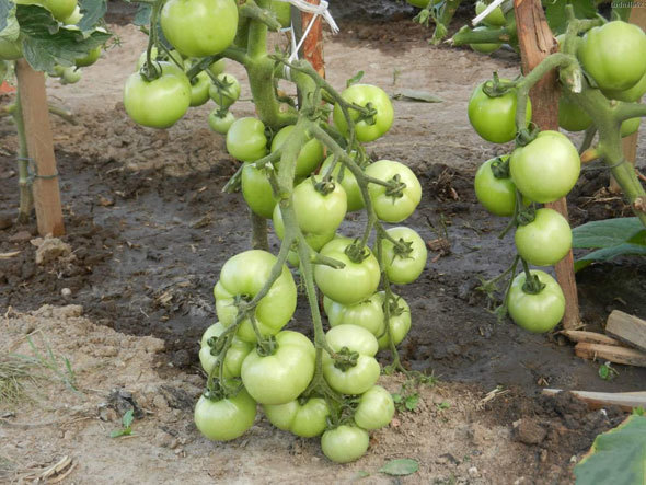 Томат Катя: описание сорта с фото, выращивание, уход и отзывы