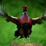 Как поймать фазана живым: способы, инструкции и полезные советы