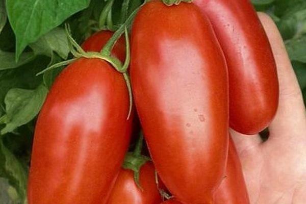 Томат Дамские пальчики: описание, фото, агротехника, уход, отзывы