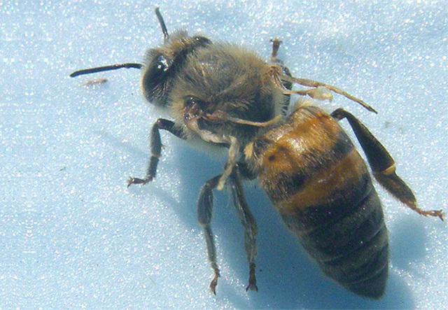 Вирусный паралич пчел: причины, симптомы, лечение, профилактика