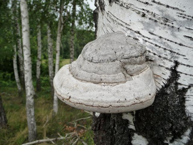 Трутовики: описание гриба, ядовитые или съедобные виды, где растет?
