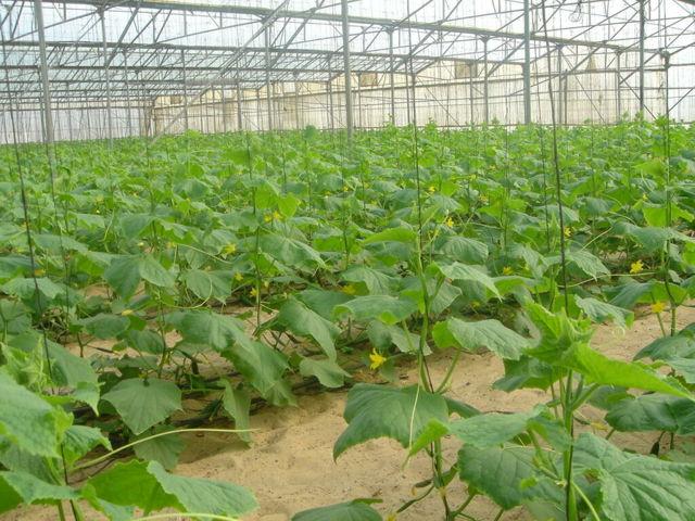 Самоопыляемые сорта огурцов: описание, фото, характеристика и агротехника