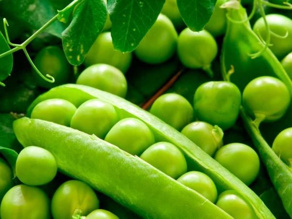 Выращивание гороха в домашних условиях: условия, сорта, посадка и уход