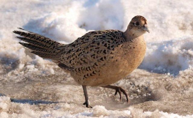 Разведение фазанов в домашних условиях