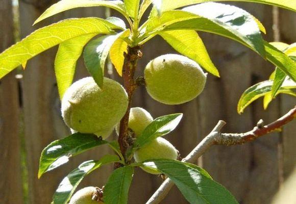 Обрезка персика осенью для начинающих