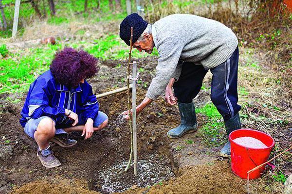 Слива Писсарди: описание сорта, фото, особенности посади и выращивания, отзывы